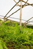 Giovane pianta di pomodori che cresce in un greenh molto semplice della scuola materna della pianta Immagini Stock