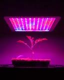 Giovane pianta di pomodori nell'ambito della luce progressiva del LED Immagine Stock