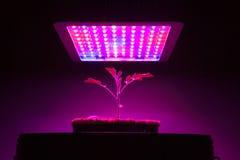 Giovane pianta di pomodori nell'ambito della luce progressiva del LED Immagini Stock