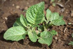 Giovane pianta di Potatoe Fotografie Stock