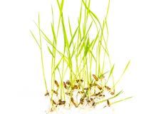 Giovane pianta di riso Fotografia Stock Libera da Diritti