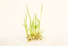 Giovane pianta di riso Immagine Stock Libera da Diritti
