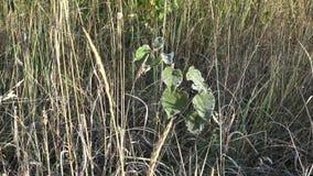 Giovane pianta gelida dell'albero in fienarola dei prati bianca coperta di prima brina 4K archivi video