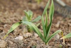 Giovane pianta sana dell'aglio (alium sativum). Fotografie Stock Libere da Diritti