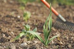 Giovane pianta sana dell'aglio (alium sativum). Fotografia Stock