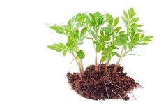 Giovane pianta verde Fotografie Stock