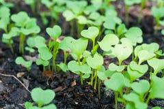 Giovane pianta verde del germoglio Fotografia Stock Libera da Diritti