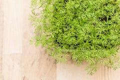 Giovane pianta verde dell'aneto Immagine Stock