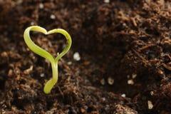 Giovane pianta verde di Cuore-Figura Immagine Stock