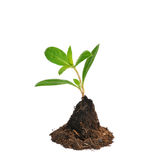 Giovane pianta verde isolata su fondo bianco Fotografia Stock