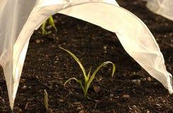 Giovane pianta verde sotto il cloche Fotografia Stock Libera da Diritti
