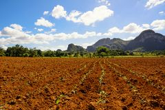 Giovane piantagione del tabacco nella valle di Vinales in Cuba Fotografia Stock Libera da Diritti