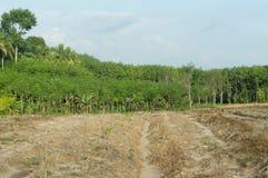 Giovane piantagione di gomma Fotografia Stock Libera da Diritti