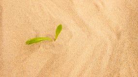 Giovane piantina che cresce in una sabbia del deserto Fotografia Stock