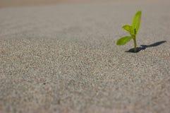 Giovane piantina che cresce in una sabbia del deserto Estremamente chiuda su con DOF basso Immagini Stock