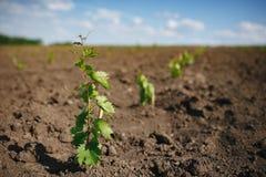 Giovane piantina dell'uva in una terra della molla Fotografie Stock