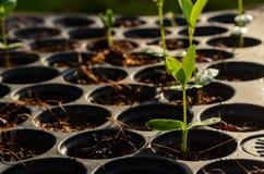 Giovane piantina delle piante dell'erba del bambino sul vassoio di piantatura nero immagini stock