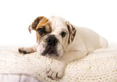 Giovane piccolo cane del cucciolo del bulldog francese che si trova sul letto a casa che esamina curioso la macchina fotografica Fotografia Stock