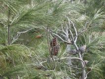 Giovane pigna su un ramo con gli aghi lunghi immagini stock
