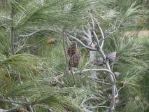 Giovane pigna su un ramo con gli aghi lunghi fotografia stock