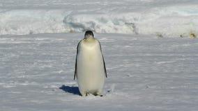 Giovane pinguino di imperatore che sta il giorno soleggiato congelato dell'inverno dell'oceano video d archivio