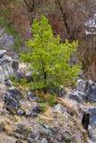 Giovane pino Fotografia Stock