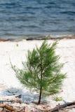Giovane pino australiano Fotografia Stock Libera da Diritti