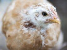 Giovane pollo Immagini Stock