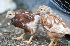 Giovane pollo Immagini Stock Libere da Diritti
