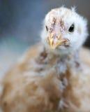 Giovane pollo Fotografia Stock