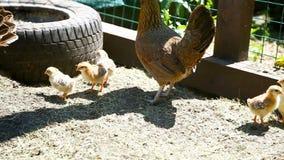 Giovane pollo che cammina con i suoi piccoli polli video d archivio