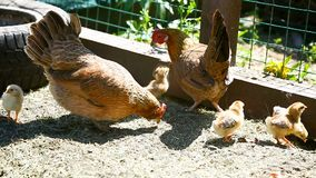 Giovane pollo che cammina con i suoi piccoli polli stock footage