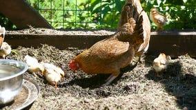 Giovane pollo che cammina con i suoi piccoli polli archivi video