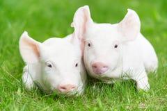 Giovane porcellino su erba verde Fotografie Stock Libere da Diritti