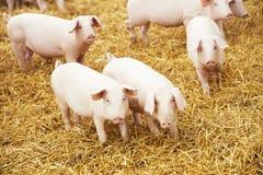 Giovane porcellino su fieno all'azienda agricola di maiale Fotografia Stock Libera da Diritti
