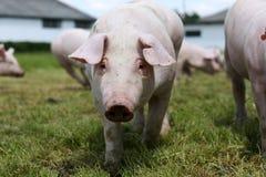 Giovane porcellino sul prato dell'erba verde alla scena rurale dell'azienda agricola di allevamento del maiale Immagine Stock