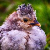 Giovane posa porpora bianca del pollo fotografia stock libera da diritti