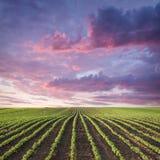 Giovane prato del raccolto della soia al tramonto idilliaco Immagini Stock