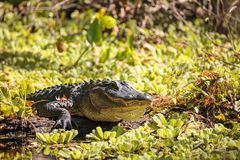 Giovane prendere il sole americano di alligator mississippiensis Immagine Stock Libera da Diritti