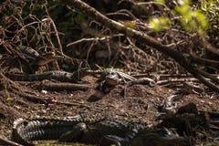 Giovane prendere il sole americano di alligator mississippiensis Fotografie Stock