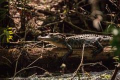Giovane prendere il sole americano di alligator mississippiensis Immagini Stock