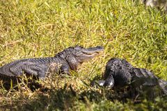 Giovane prendere il sole americano di alligator mississippiensis Fotografia Stock