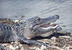 Giovane prendere il sole dell'alligatore Fotografia Stock Libera da Diritti