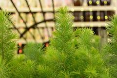 Giovane primo piano verde dell'abete del pino Immagini Stock