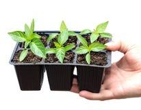 Giovane processo di una pianta su un fondo bianco immagine stock libera da diritti