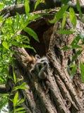 Giovane procione che riposa nella cavità dell'albero Immagini Stock