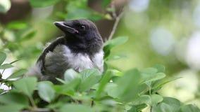 Giovane pulcino incappucciato del corvo che nesstling video d archivio