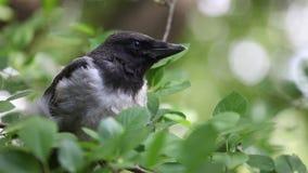 Giovane pulcino incappucciato del corvo che nesstling stock footage