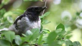 Giovane pulcino incappucciato del corvo che nesstling archivi video