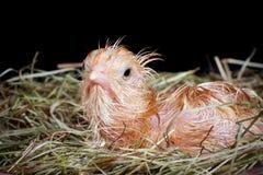 Giovane pulcino in nido Fotografia Stock